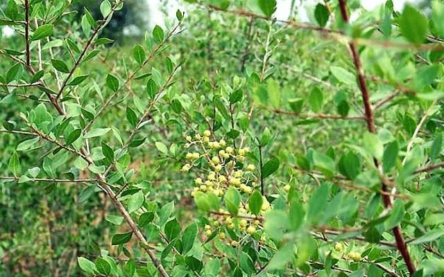 ヘナ 植物