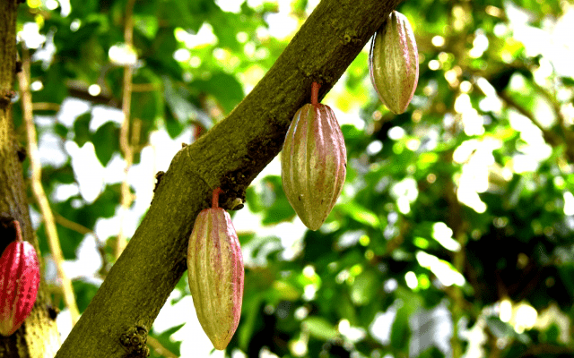 カカオ 成分 チョコレート